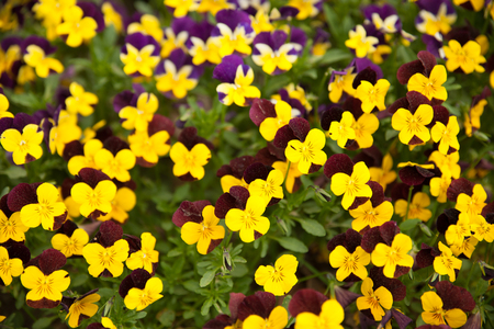BPansy flower blooming on a garden in early spring .