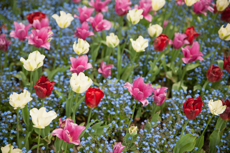 Tulips blooming in a garden in botany park in early spring .