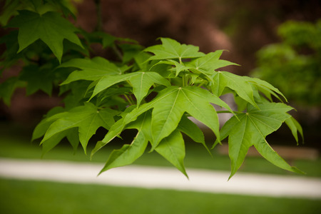Green Kalopanax pictus leafs on a branch in park  . Stock Photo