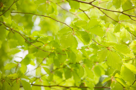 Background of beech leaves photographed toward the loght .