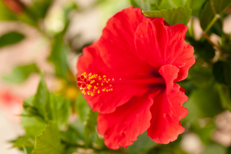 Red hibiscus flower on a hibiscus plant in late summer Stock Photo