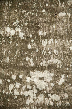 gray Beech bark texture background