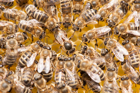 Bee mother on honeycomb with surrounded  honeybees layong eggs - bee family Stock Photo
