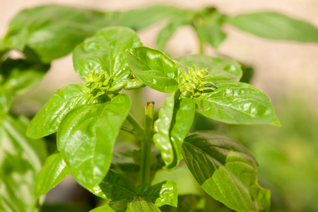 Basil plants in the garden in late summer . Stock Photo
