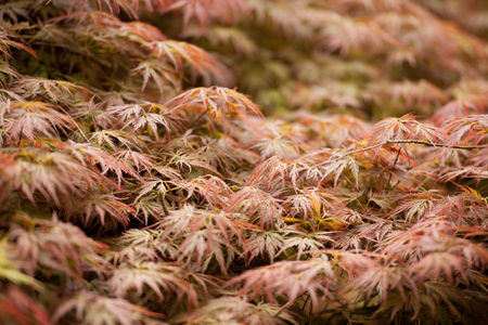 Acer palmatum or palmate maple or Japanese maple red and green foliage background