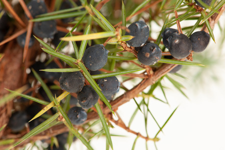 Juniper ripe and green seeds on a branch Stock Photo