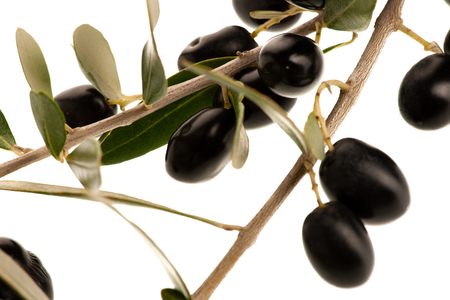 Ripe black olives on a branch isolated over white background