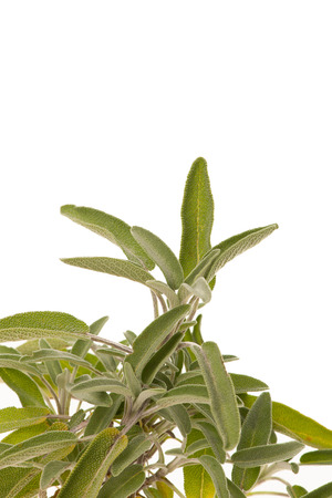 Green sage leaves  osolated over white background