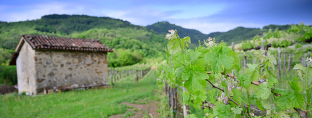 Vine branch with blossoms ine early spring in vineyard banner size 版權商用圖片