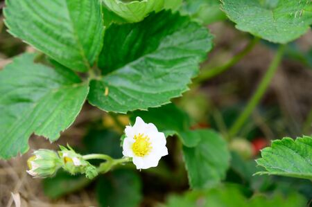 blooming strawberry flower in the garden