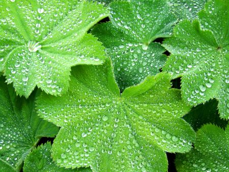 dewdrops: Dewdrops on Green Spring Leaves Stock Photo