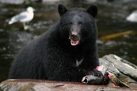 A bear eating a salmon caught by a stream on an island in Alaska.