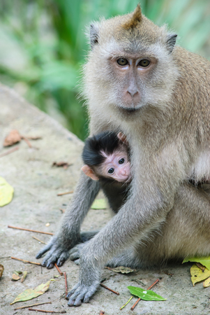 mangrove forest: lovely baby monkey in mangrove forest at Thailand