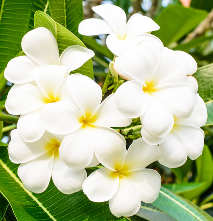 Good smell of white flower ,it name is Lan Tom or Leelawadee on morning time