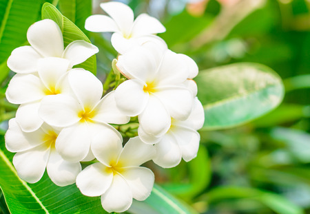 leelawadee: Good smell of white flower ,it name is Lan Tom or Leelawadee with water drop on morning time