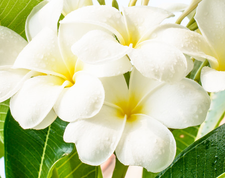 leelawadee: Good smell of white flower ,it name is Lan Tom or Leelawadee with water drop after rainy Stock Photo