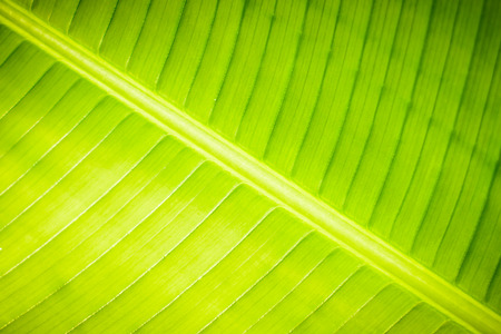 Nature background of banana leaf on morning time