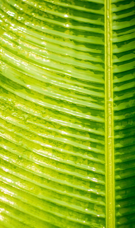 Nature background of banana leaf with water drop after heavy rainy