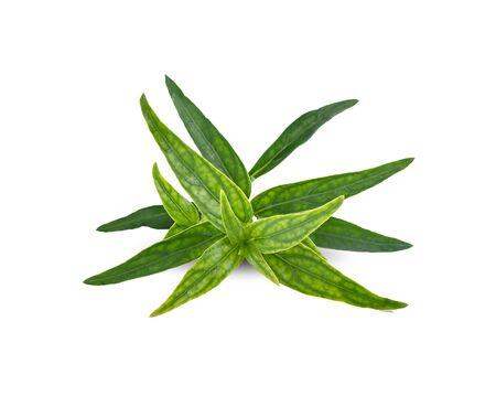 fresh Thai herbal medicine herbs organic plant leaves Andrographis paniculata. Anti-Covid-19 Properties .
