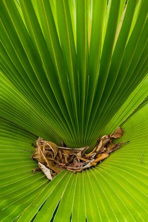 dry leaf: Green Palm leaf, dry leaf Stock Photo