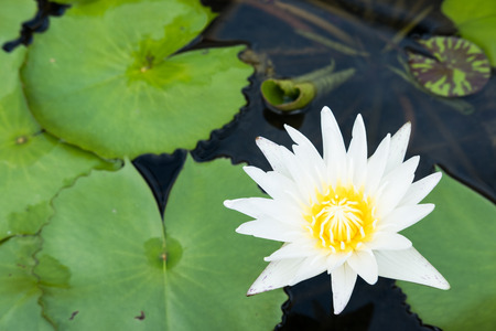 white lotus flower bloomed over the water and lotus leaves