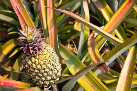 pineapple in the field