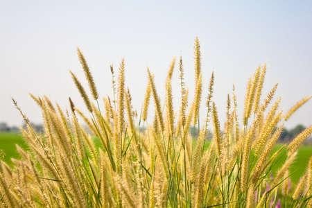 Swamp Foxtail Grass Stock Photo