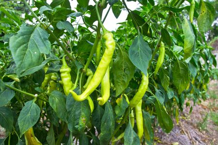green chilli peppers growing in the garden