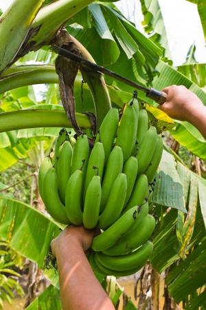 Person hands showing a banana harvest