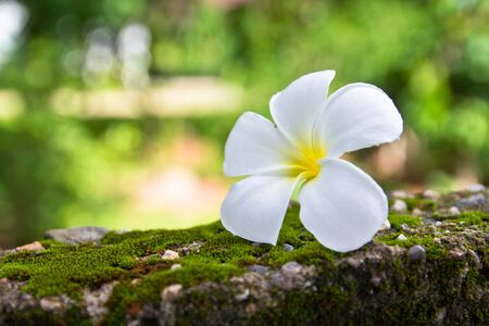 Plumeria on the green moss wall photo