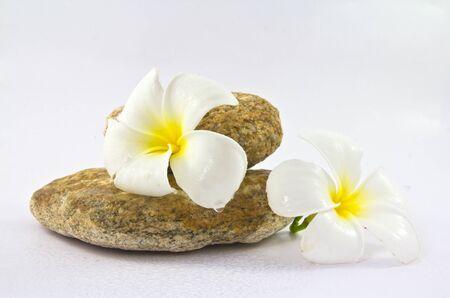 Tropical flower Plumeria alba  White Frangipani  on the rock