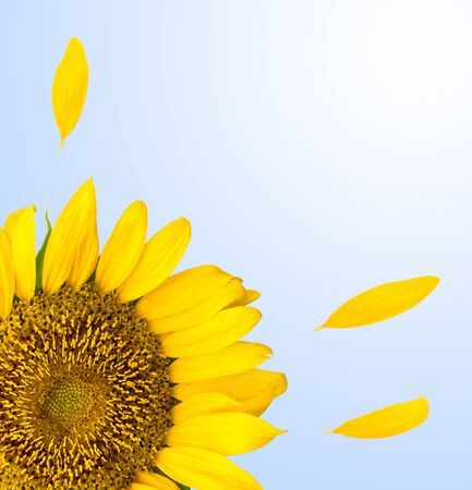 sunflower background Stock Photo - 14215473
