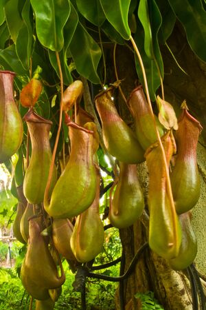 Nepenthes Alata, a carnivorous Plant