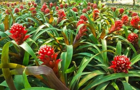 bromeliad: Bromeliad, Ananas Comosus, Pineapple