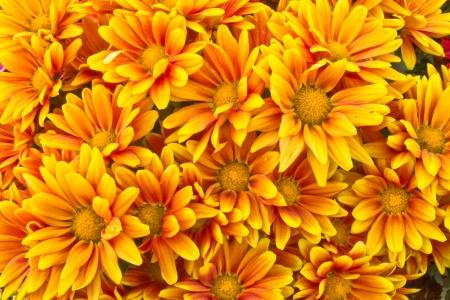 Yellow Chrysanthemum flowers Standard-Bild
