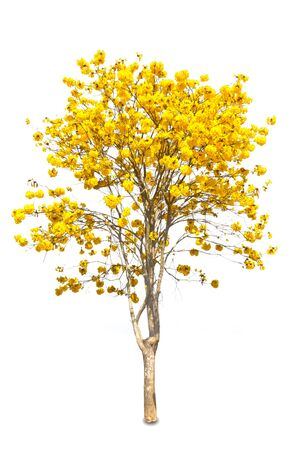 Yellow tabebuia flower on white background