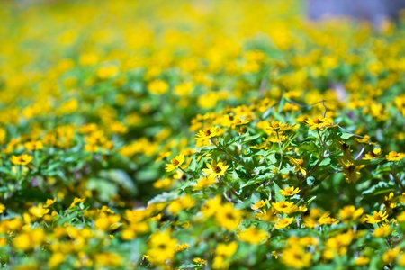 Little yellow star flower Stock Photo