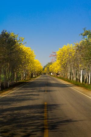 Golden tree Tallow pui on roadside with blue sky Standard-Bild