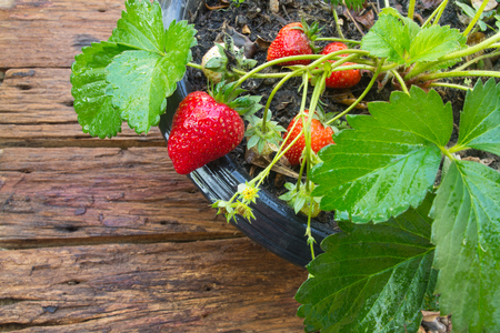 Close up of potted strawberry on wooden background