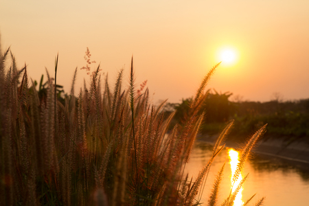 Pennisetum flower in warm sunset by the river