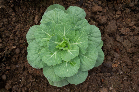 Cabbage (brassica oleracea) Planted for Ornamental on plantation.