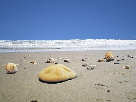 sand dollar: a large sand dollar on the beach
