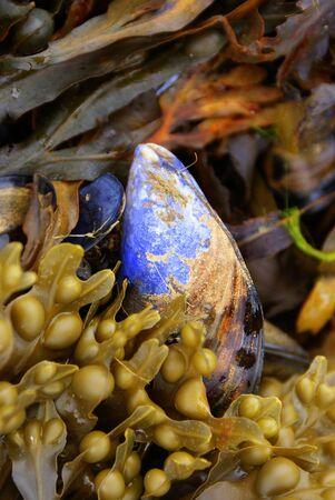 blue common mussel at the scottish coast photo