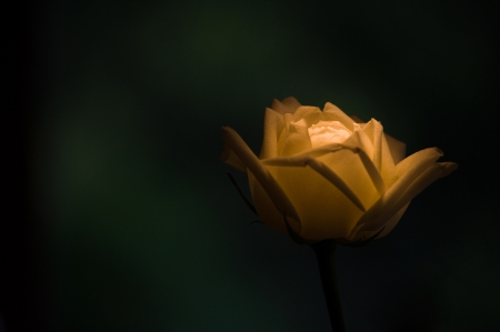 濃い緑色の背景で黄色のバラを照明