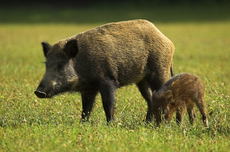 Wildschwein: Boar - Wildschwein - Sus scrofa in einem ungarischen Wald