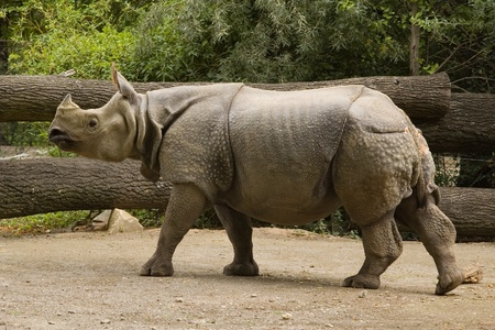 The members of the genus Rhinoceros are the one-horned rhinoceroses Stock Photo