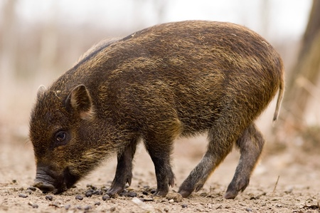sus: Boar - Wild Pig - Sus scrofa in a hungarian forest