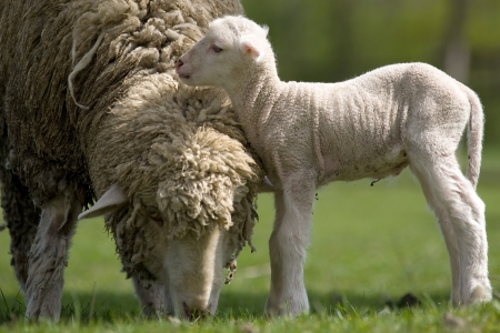australian animals: Sheep with young sheep. For mother