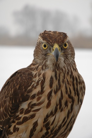 Hawk portrait in winter at an iced lake photo