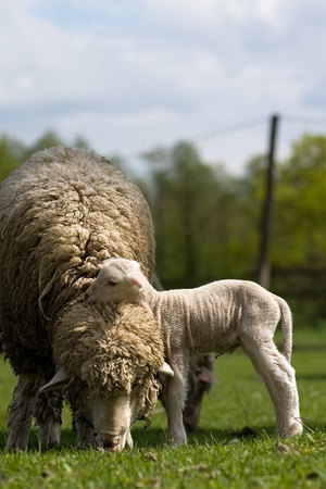 Sheep with young sheep. For mother Stock Photo